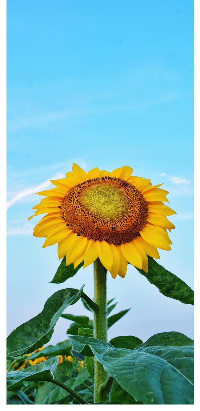 Wallpaper Ponsel Bunga Matahari 650x1333 Download Hd Wallpaper Wallpapertip