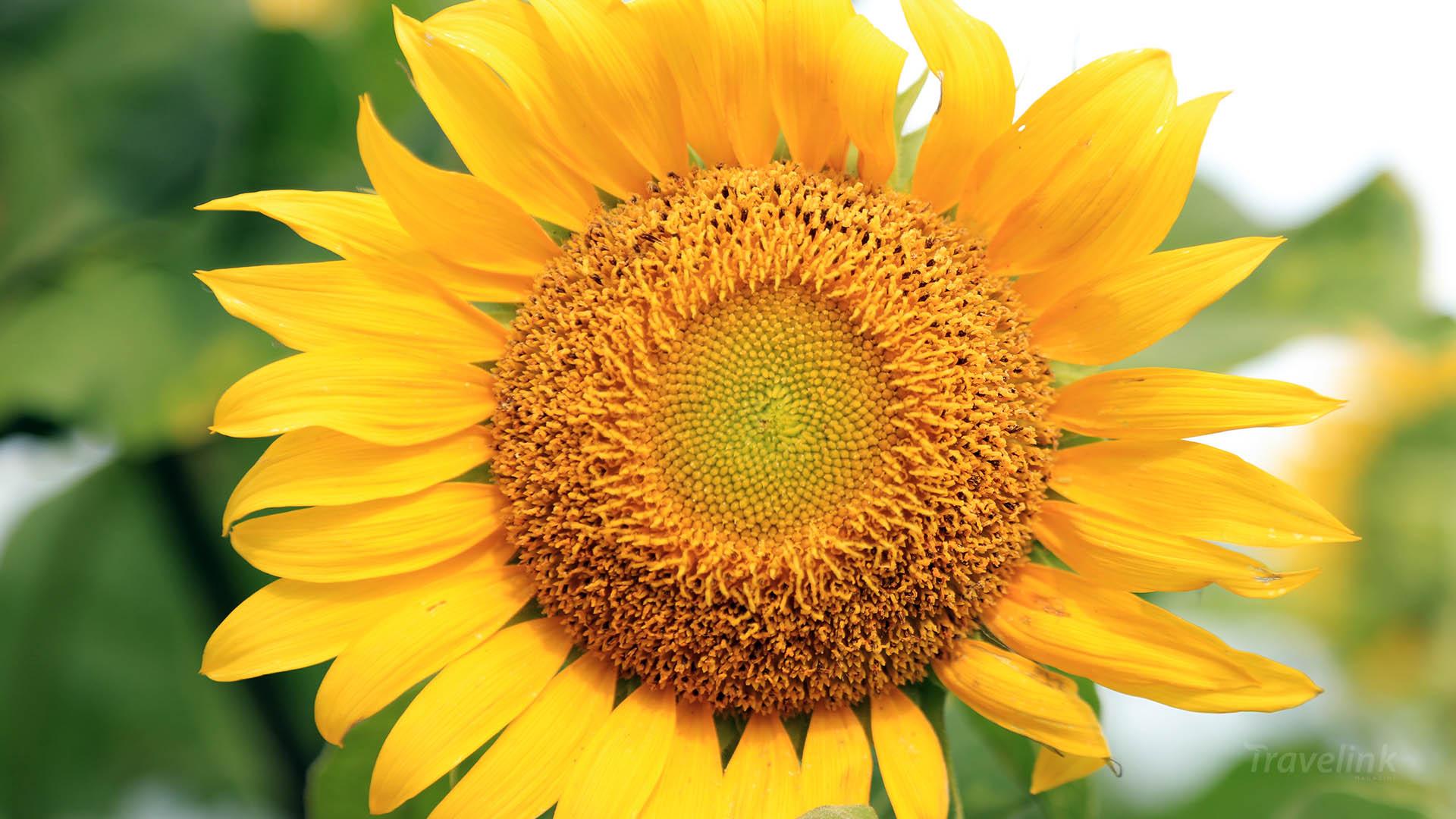Wallpaper Bunga Matahari   20x20   Download HD Wallpaper ...