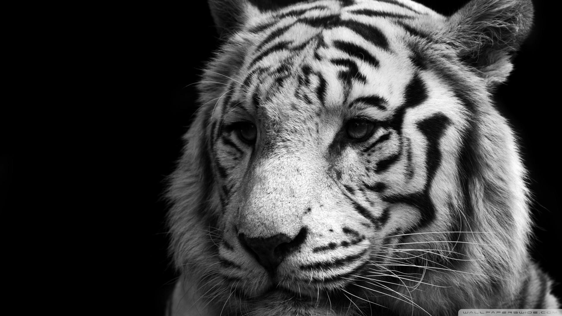 Black And White Tiger Wallpaper 1920x1080 Download Hd Wallpaper Wallpapertip