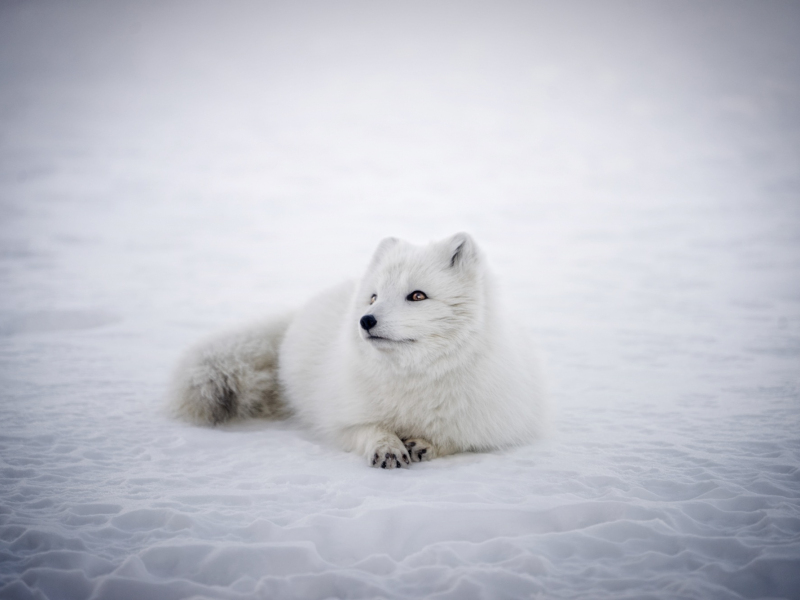 Wallpaper Arctic Fox Animal, Furry, Wildlife - 800x600 - Download HD  Wallpaper - WallpaperTip