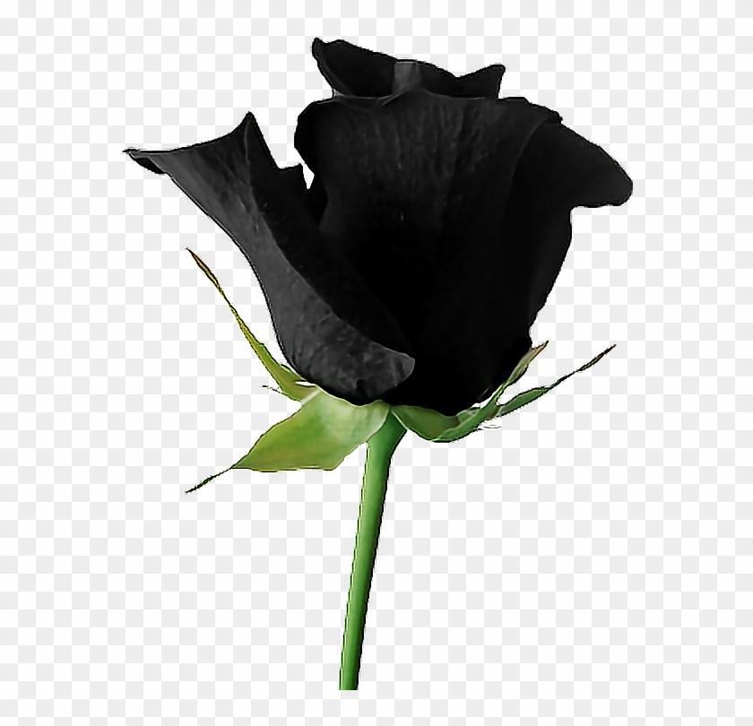 217 2175130 black goth tumblr aesthetic rose flower