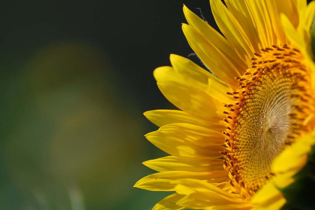 Sunflower Desktop Wallpaper 1024x681 Download Hd Wallpaper Wallpapertip