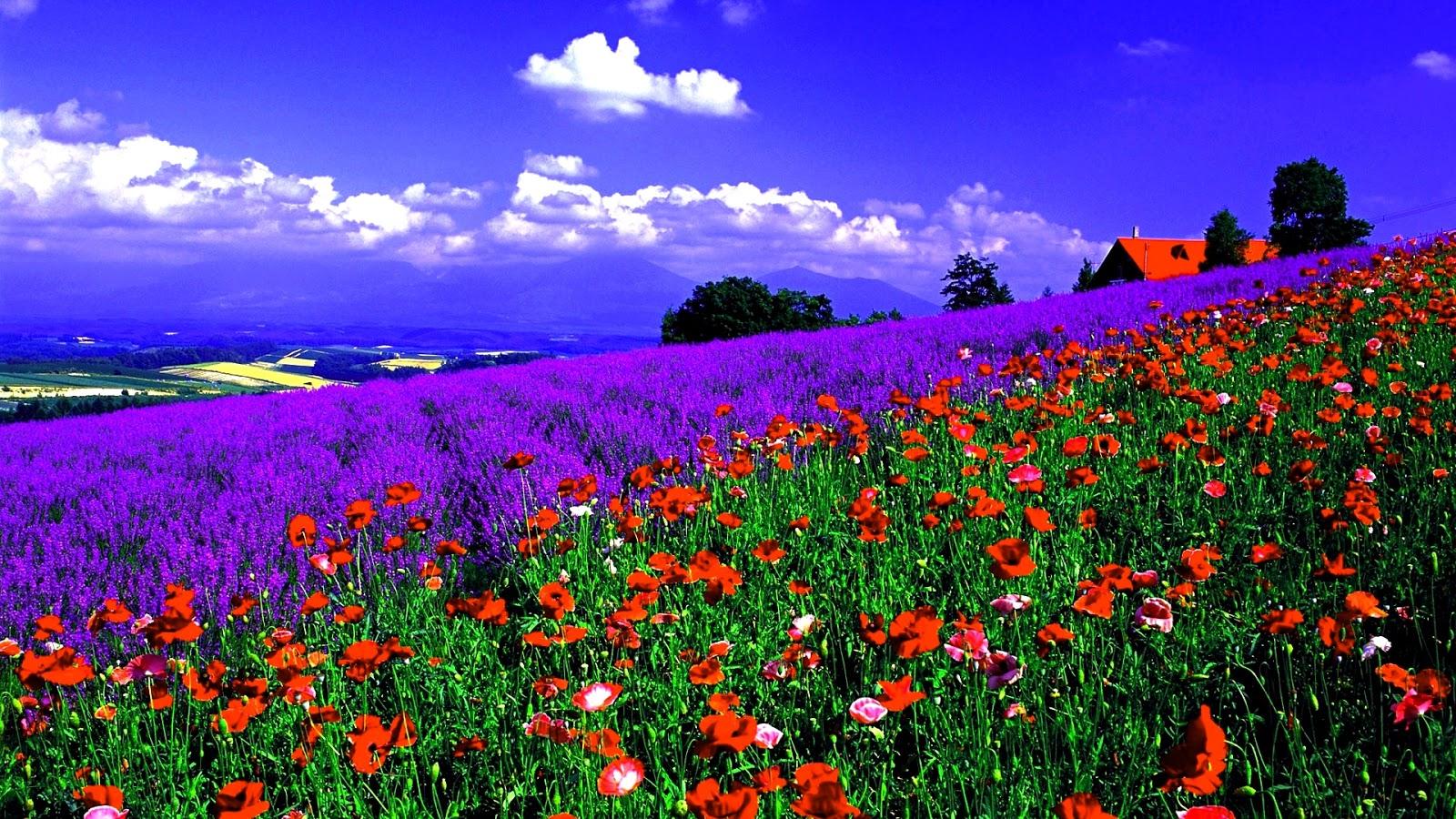 Fond D Ecran Gratuit Fleurs Des Champs Fond D Ecran Picturesque Fields 1600x900 Download Hd Wallpaper Wallpapertip