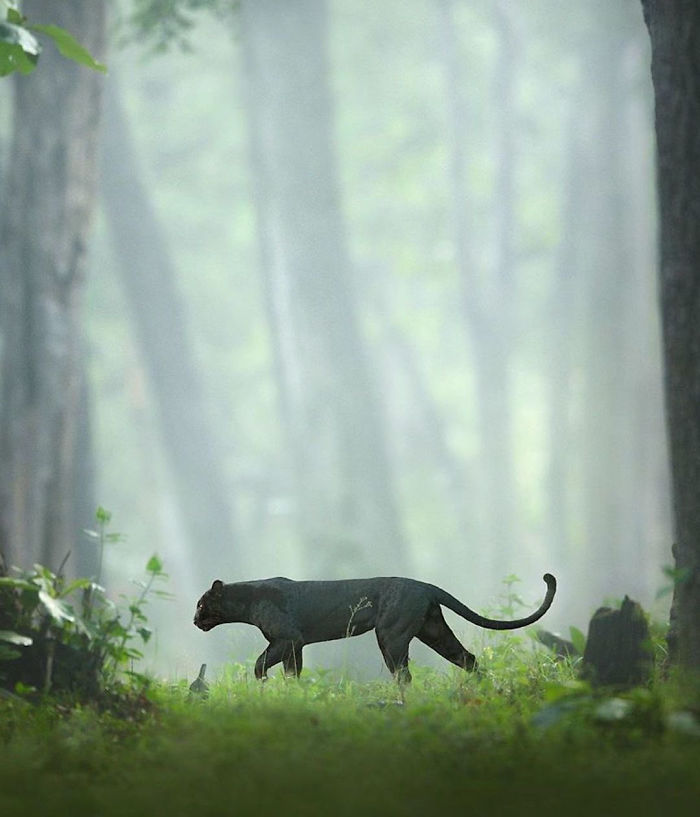 Black Panther Animal Hd Wallpaper 700x817 Download Hd Wallpaper Wallpapertip
