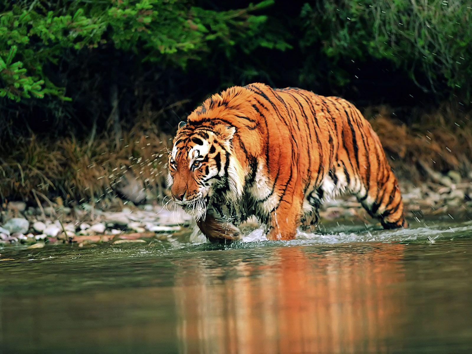 Tigre De Siberie Fond D Ecran Tigre Hd 1600x1200 Wallpapertip