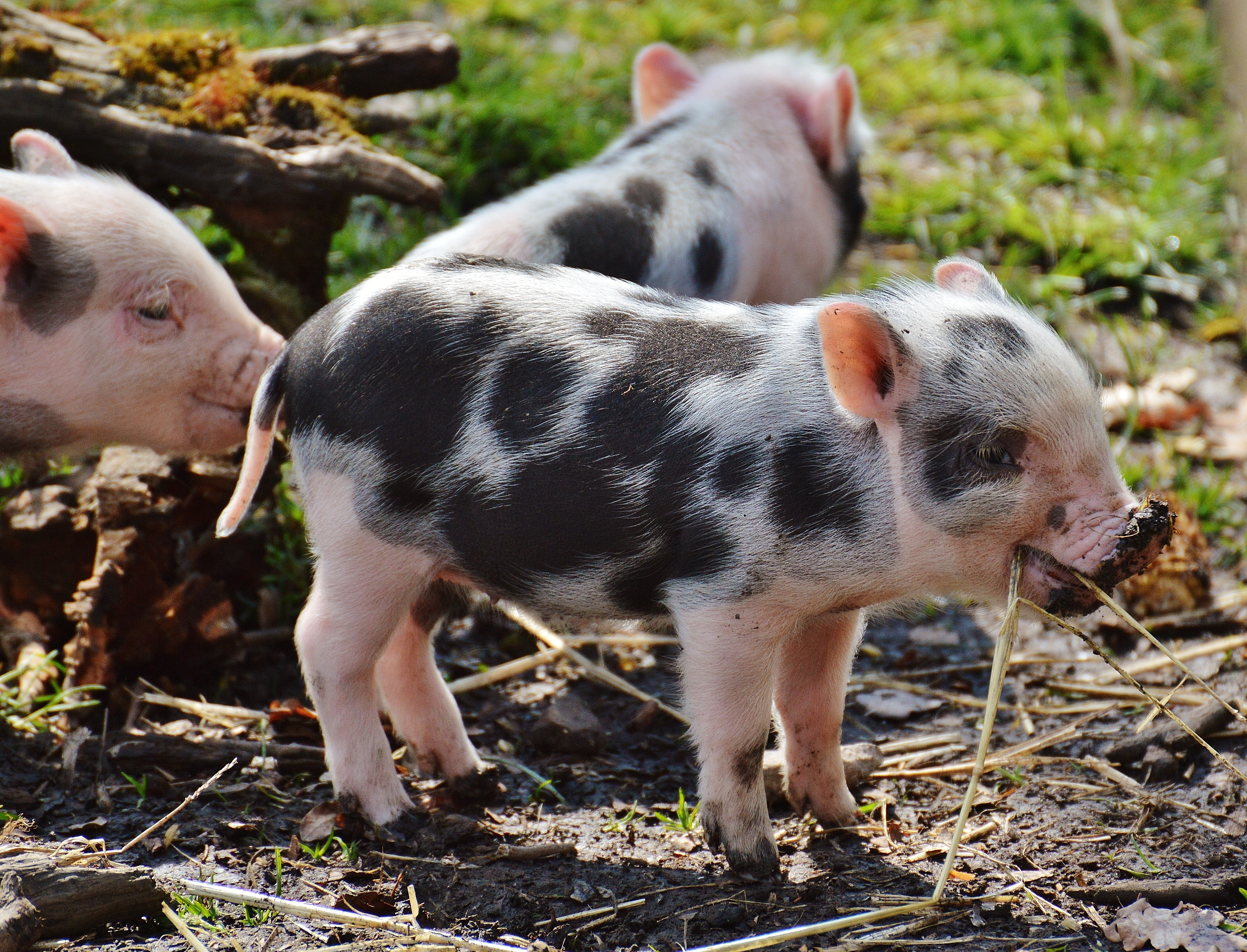 Baby Pig Wallpaper - 4642x3545 ...