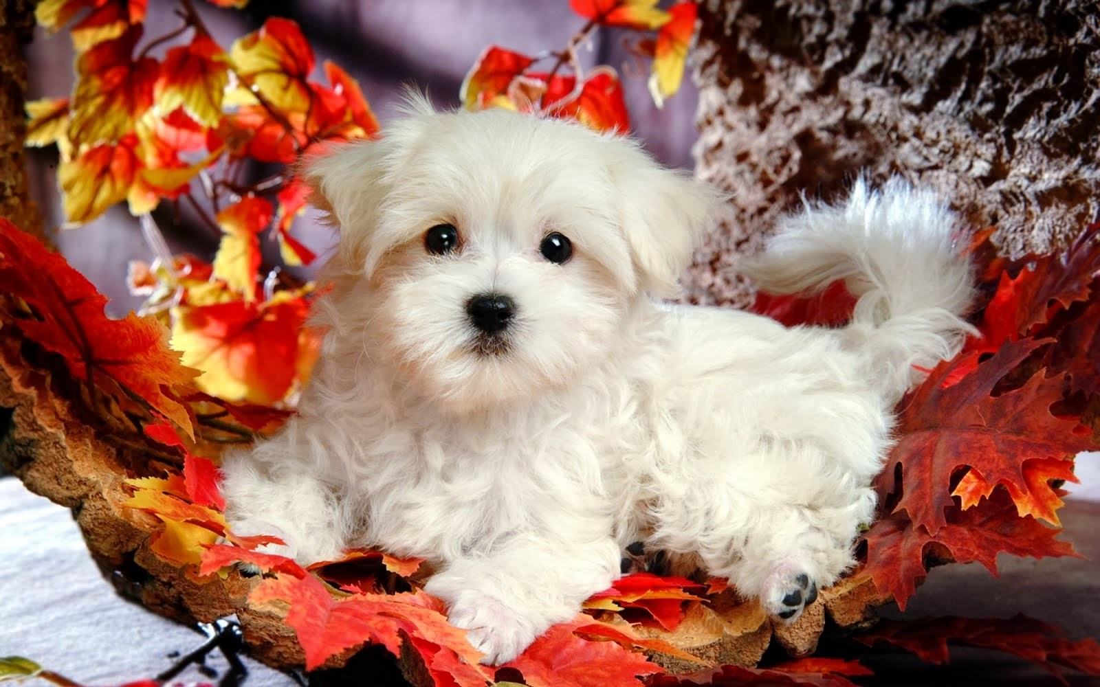 Beautiful Cute Puppies Wallpapers Cute White Puppy Wallpaper Desktop 1600x1000 Download Hd Wallpaper Wallpapertip