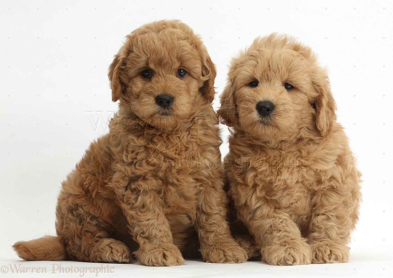 Cute F1b Goldendoodle Puppies White Background Golden Doodle F1b Puppy 660x465 Download Hd Wallpaper Wallpapertip