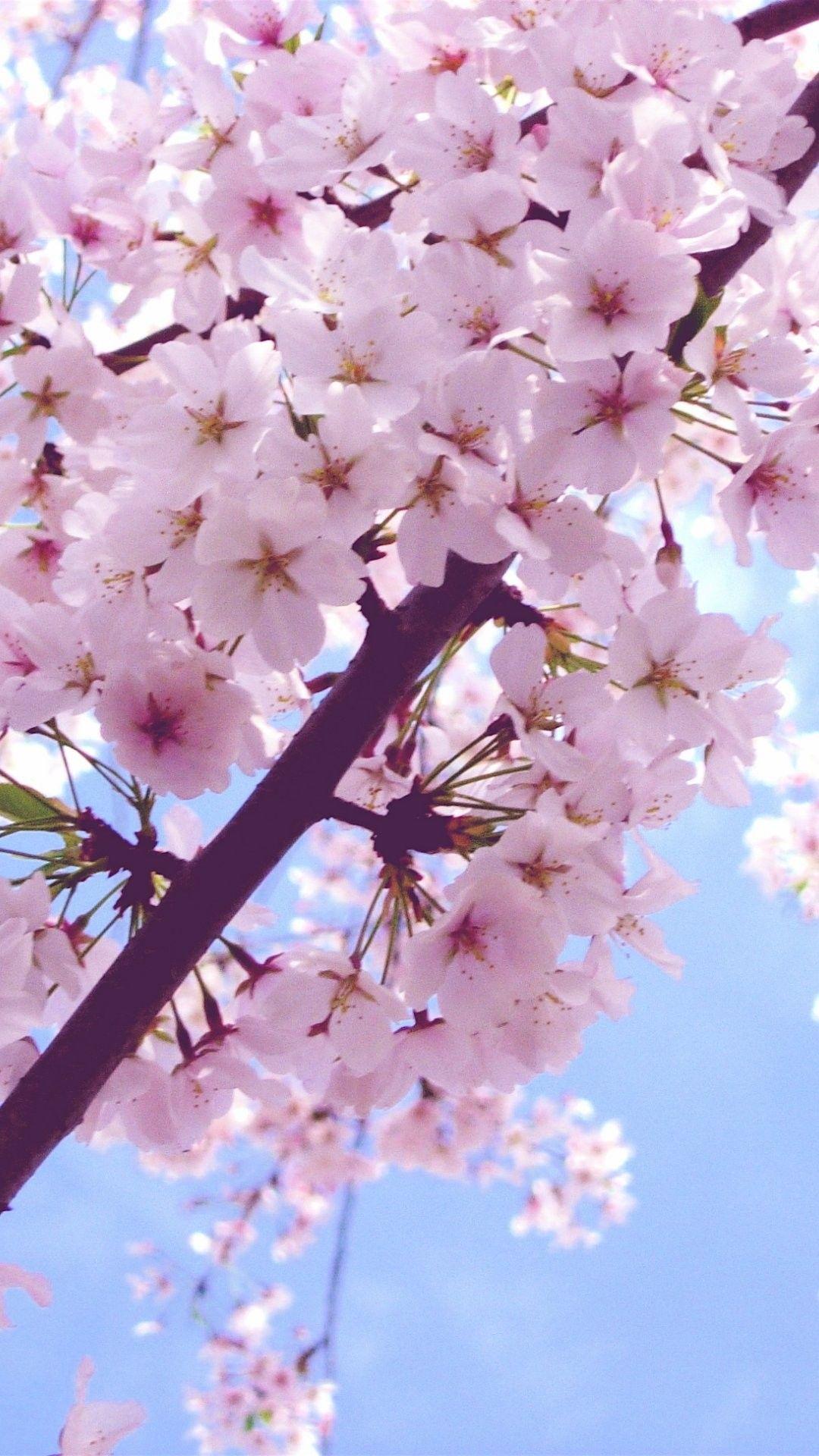 桜壁紙iphone 桜のiphoneの壁紙 1080x19 Wallpapertip
