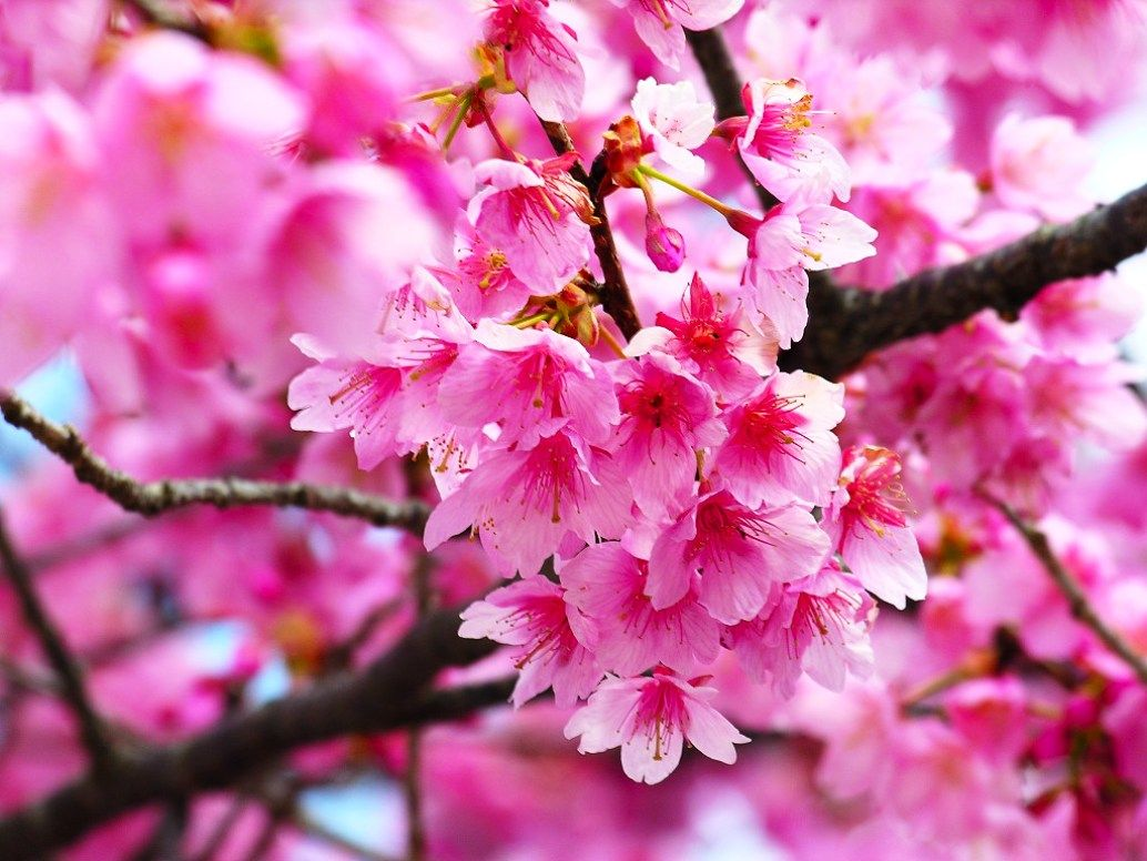 Bunga Sakura Wallpaper 1034x776