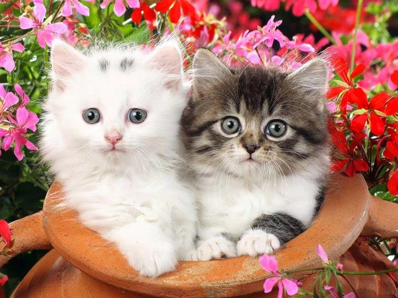 Cute Baby Cat Couple Cute Cat Couple Images Hd 808x606 Download Hd Wallpaper Wallpapertip