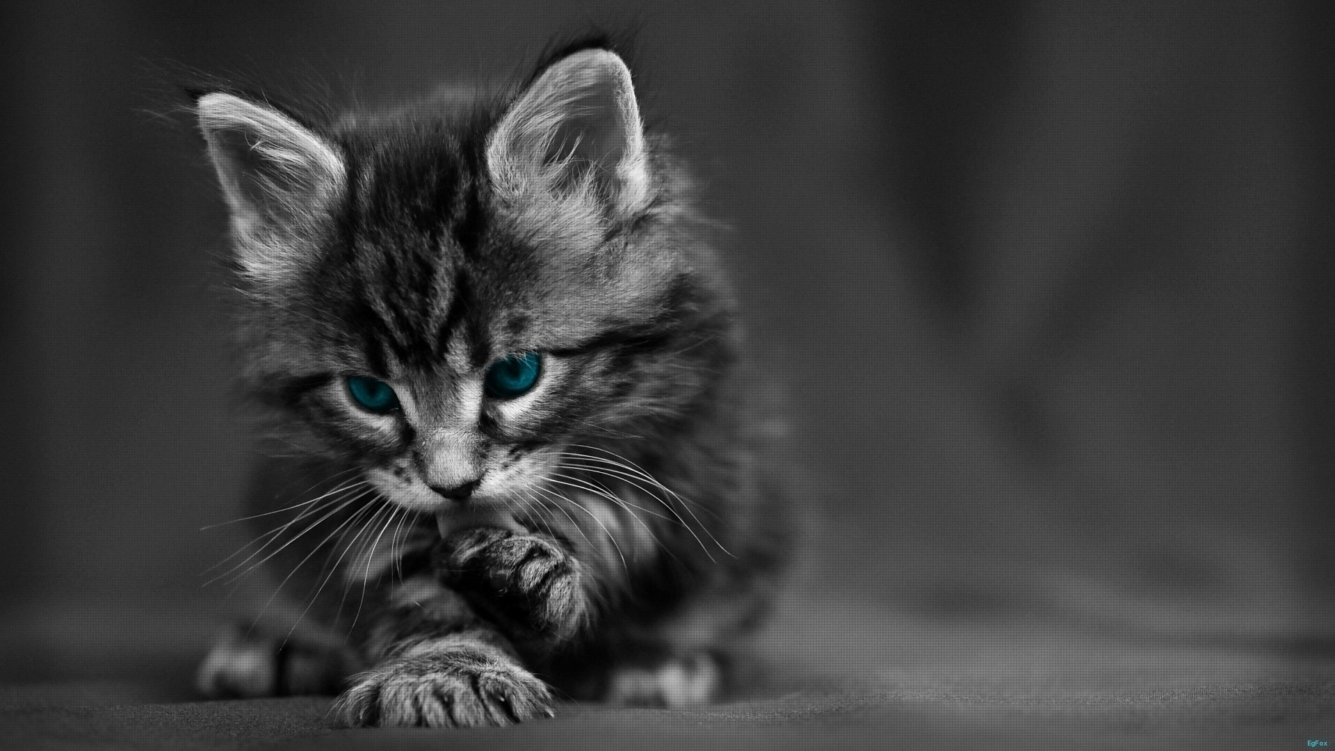 Preview Wallpaper Cat Black White Blue Eyes Baby Cute Cat Black And White 1920x1080 Download Hd Wallpaper Wallpapertip