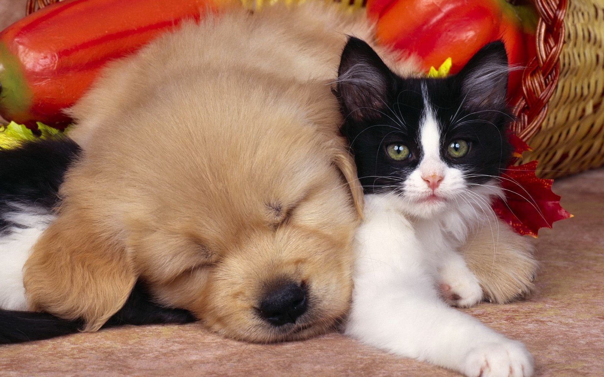 505033 Title Animal Cat Dog Cat Dog Cute Wallpaper Cute Dogs With Cats 1920x1200 Download Hd Wallpaper Wallpapertip