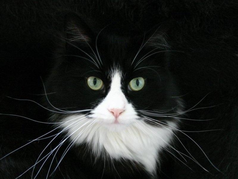 Black Cat Wallpaper Black And White Cat Wallpaper Hd 800x600 Download Hd Wallpaper Wallpapertip