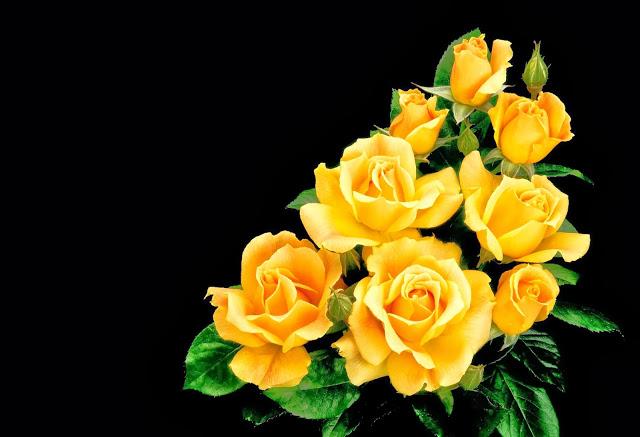 Beautiful Yellow Rose Wallpapers Free Download Flower 640x437 Download Hd Wallpaper Wallpapertip