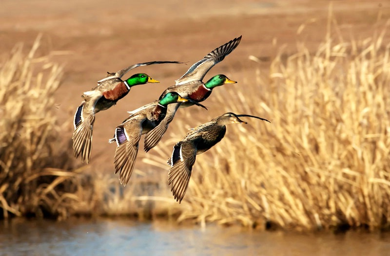 Photo Contests At Betterphotocom Ducks Unlimited 800x526 Download Hd Wallpaper Wallpapertip
