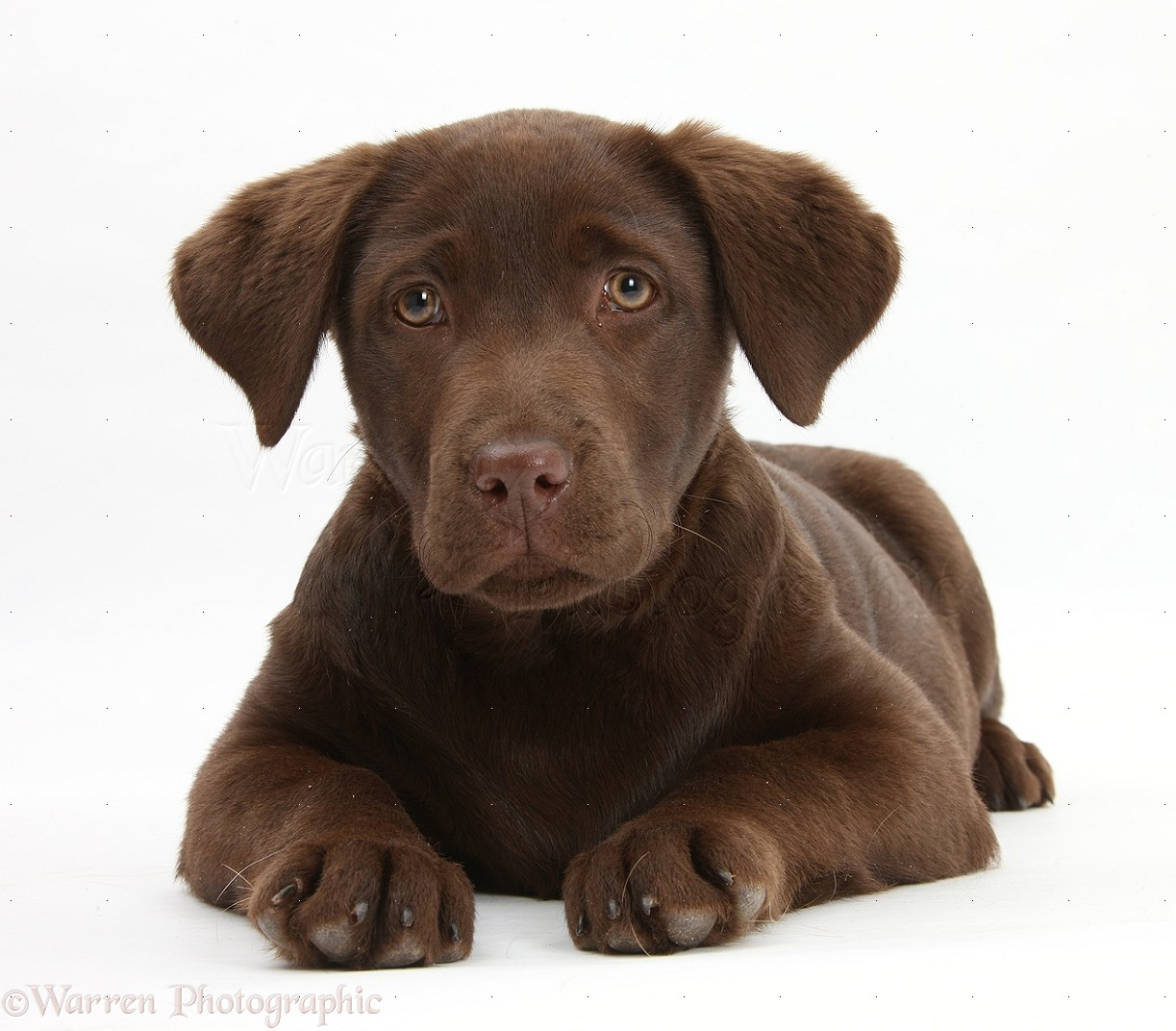 Wp33580 Chocolate Labrador Pup Lucie 3 Months Old Labrador Brown 5 Month Old 1223x1072 Download Hd Wallpaper Wallpapertip