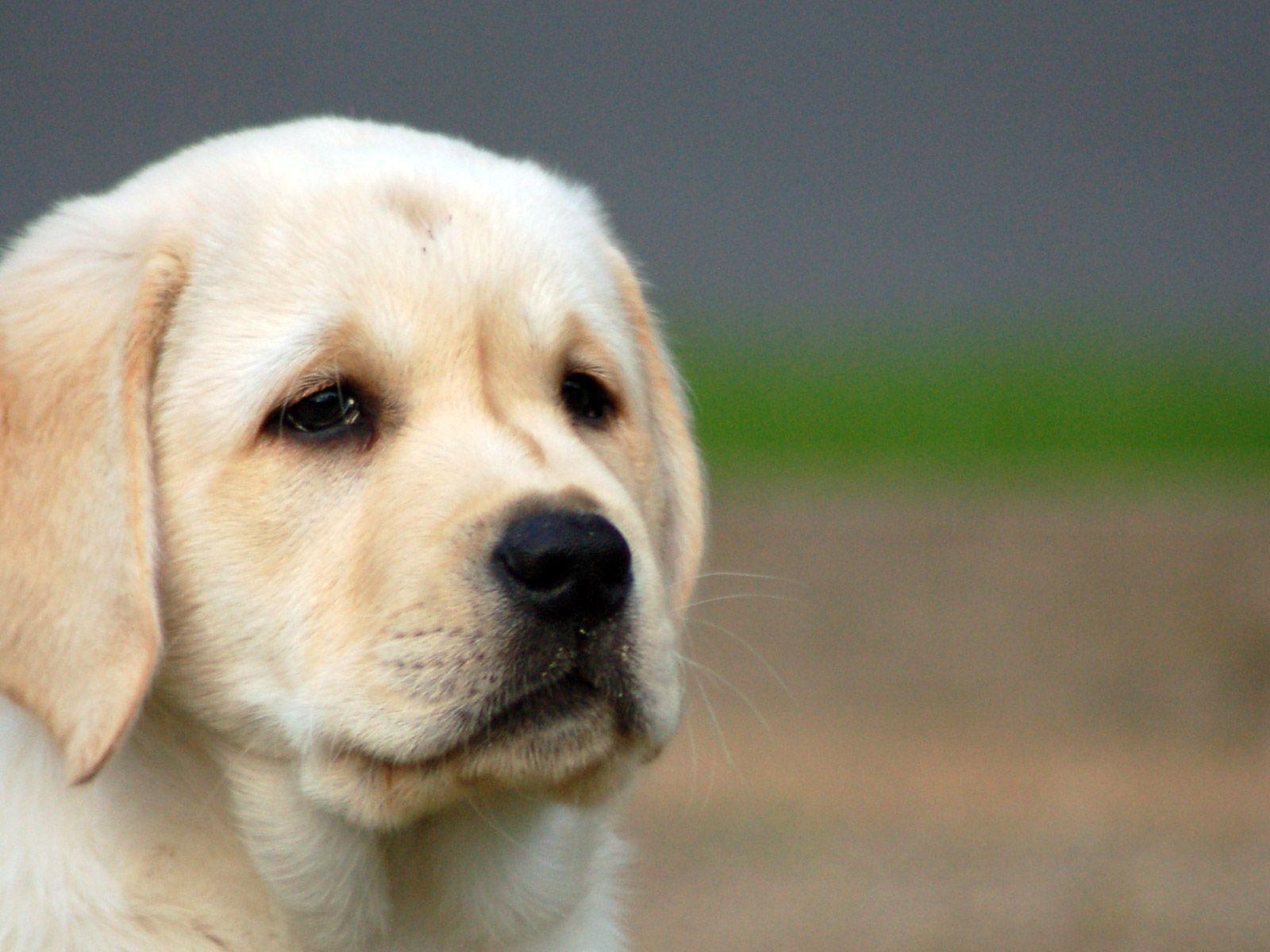 Cute Puppy Labrador Puppy Wallpaper Hd 1600x1200 Download Hd Wallpaper Wallpapertip