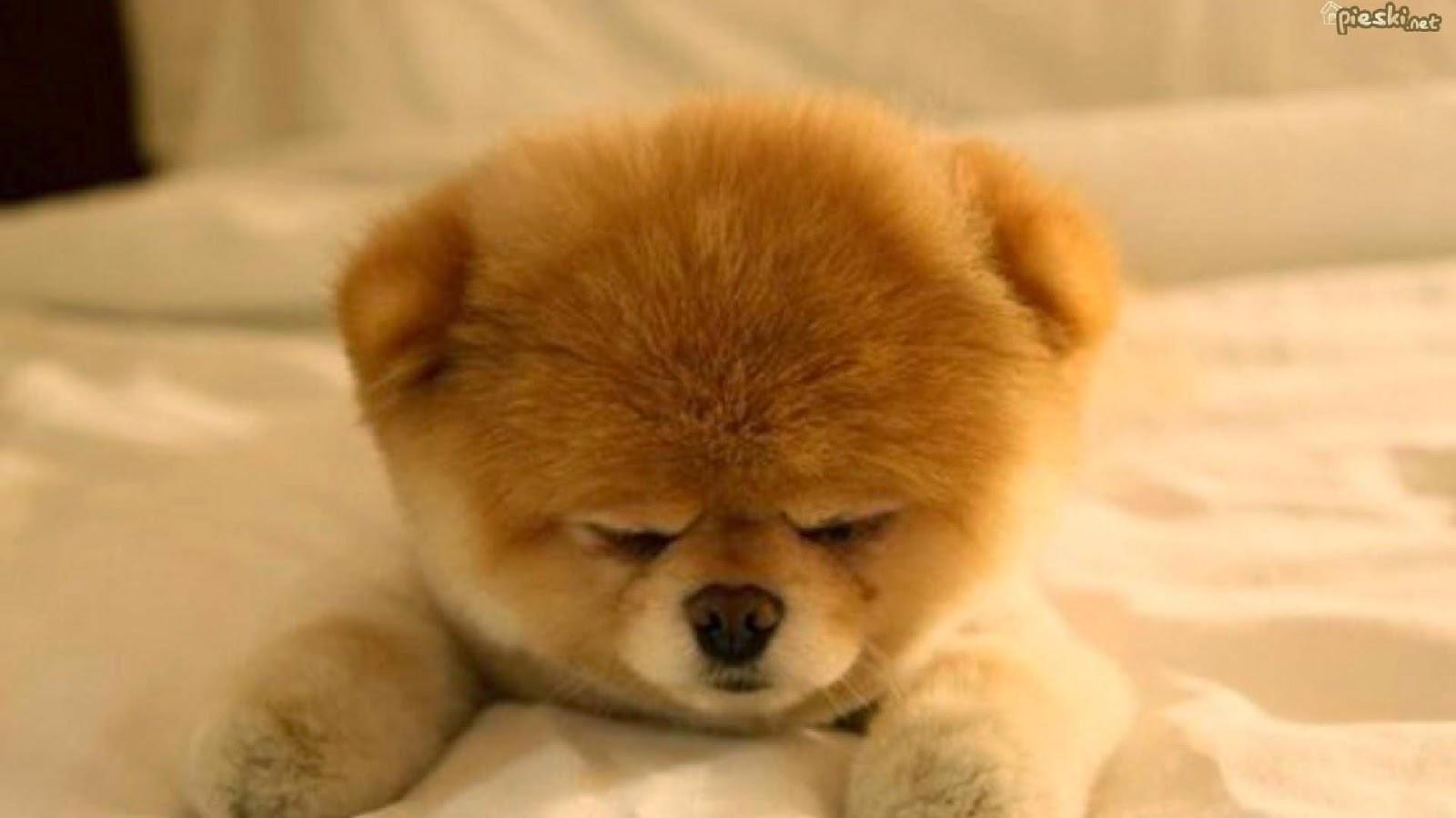Boo Pomeranian Wallpaper Cute Golden Pomeranian Puppy 1600x900 Download Hd Wallpaper Wallpapertip