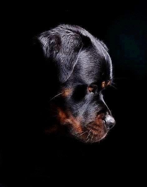 Givenchy Dog Wallpaper Black Rottweiler 472x600 Download Hd Wallpaper Wallpapertip