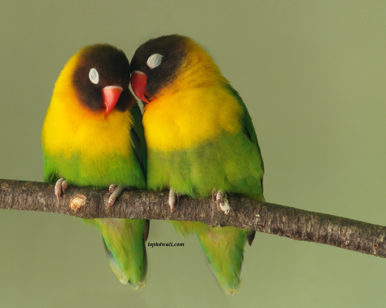 Cute Love Birds Wallpapers Love Birds Wallpaper 1250x1000 Download Hd Wallpaper Wallpapertip