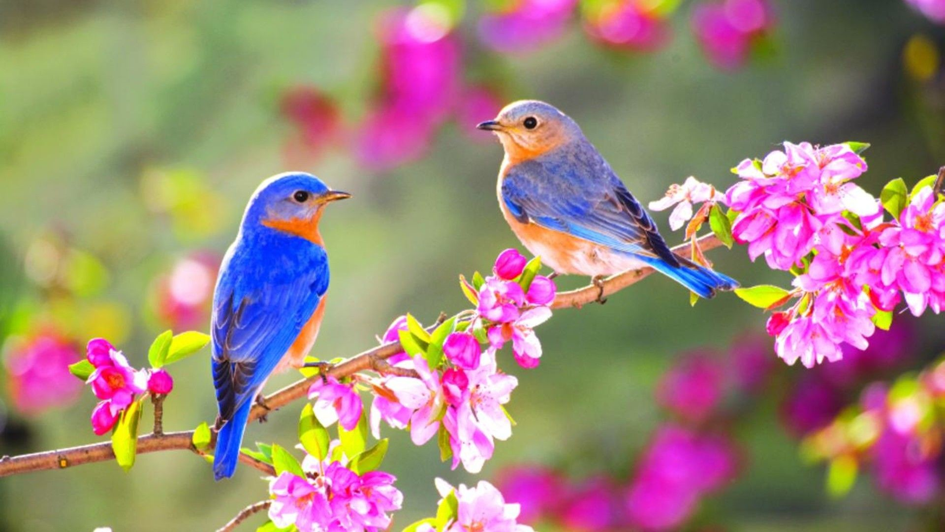 Wallpaper Download Lovely Two Little Blue Birds On Spring Flowers And Birds 1920x1080 Download Hd Wallpaper Wallpapertip