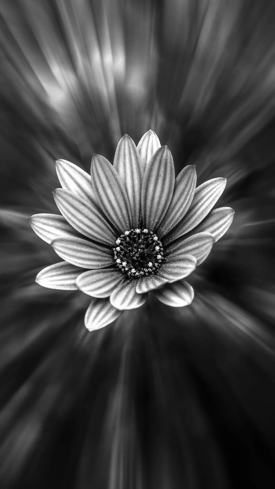 Black And White Flower S7 Edge Wallpaper Flower Wallpaper Hd Iphone 1080x1920 Download Hd Wallpaper Wallpapertip