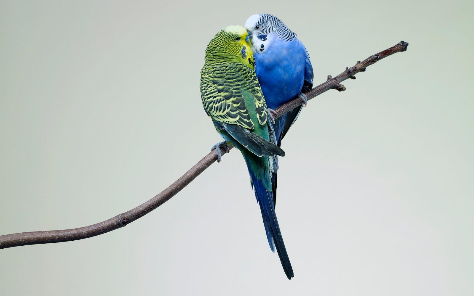 Blue Love Birds Hd 1600x1000 Download Hd Wallpaper Wallpapertip