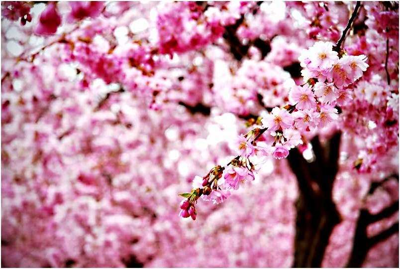 Gambar Wallpaper Bunga Sakura Jepang Cantik 804x540 Download Hd Wallpaper Wallpapertip