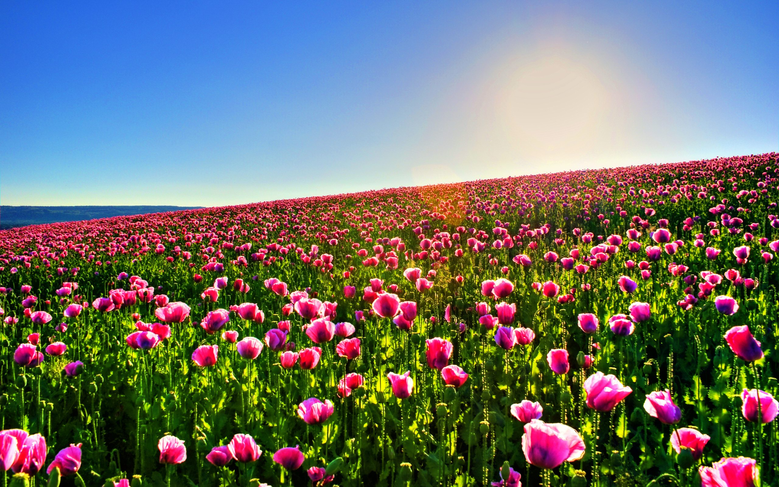 flower fields flower garden background pink 2560x1600 download hd wallpaper wallpapertip flower garden background pink