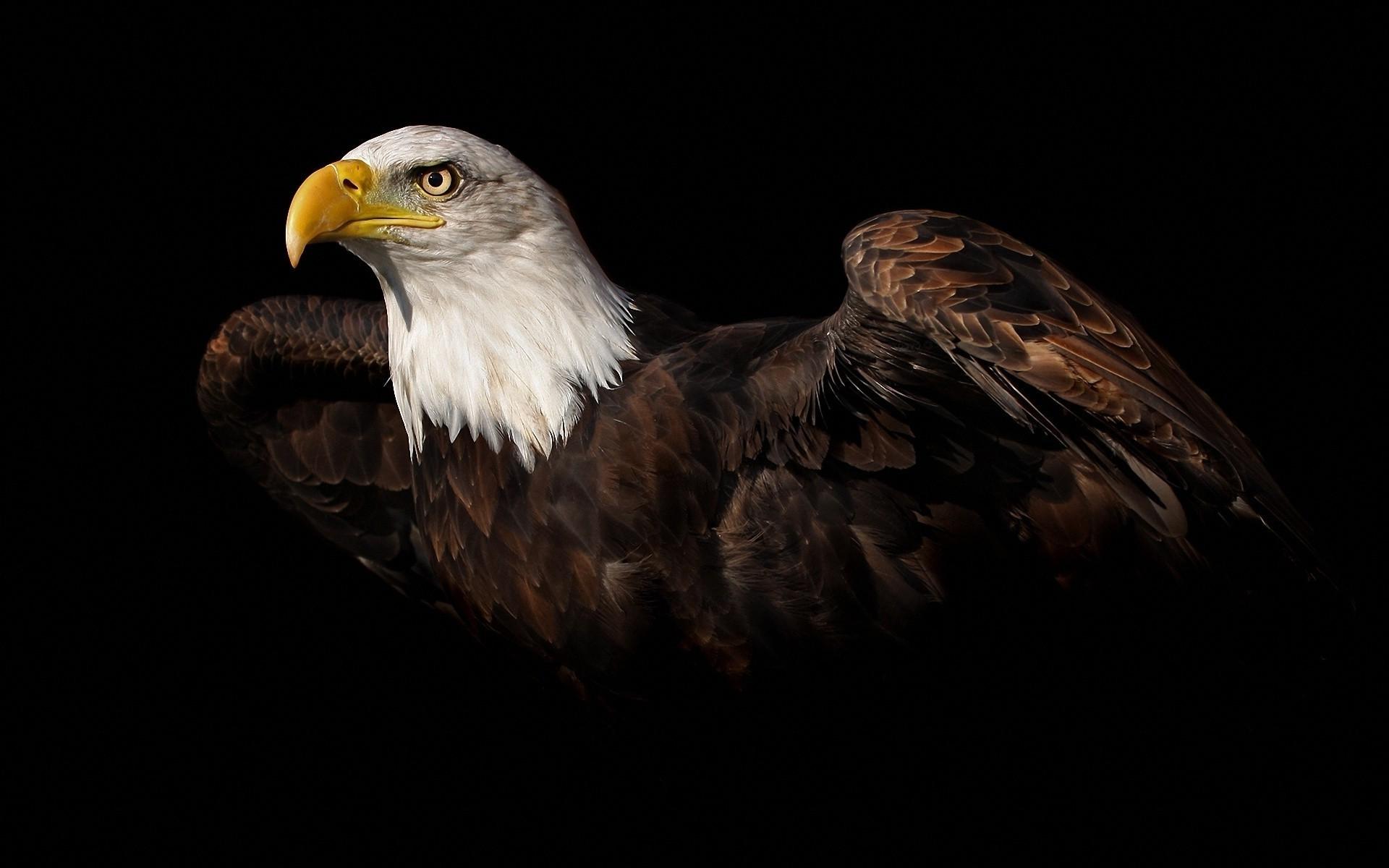 High Resolution Eagle Hd 1920x1200 Download Hd Wallpaper Wallpapertip