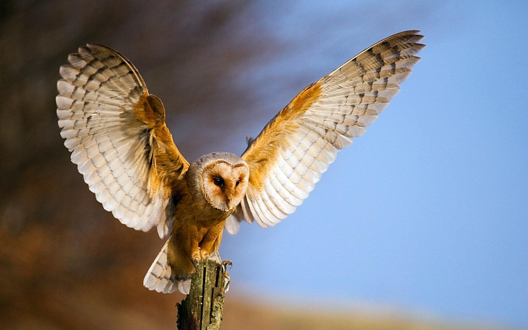 Awesome Barn Owl Free Wallpaper Id Barn Owl Wing Span 1680x1050 Download Hd Wallpaper Wallpapertip