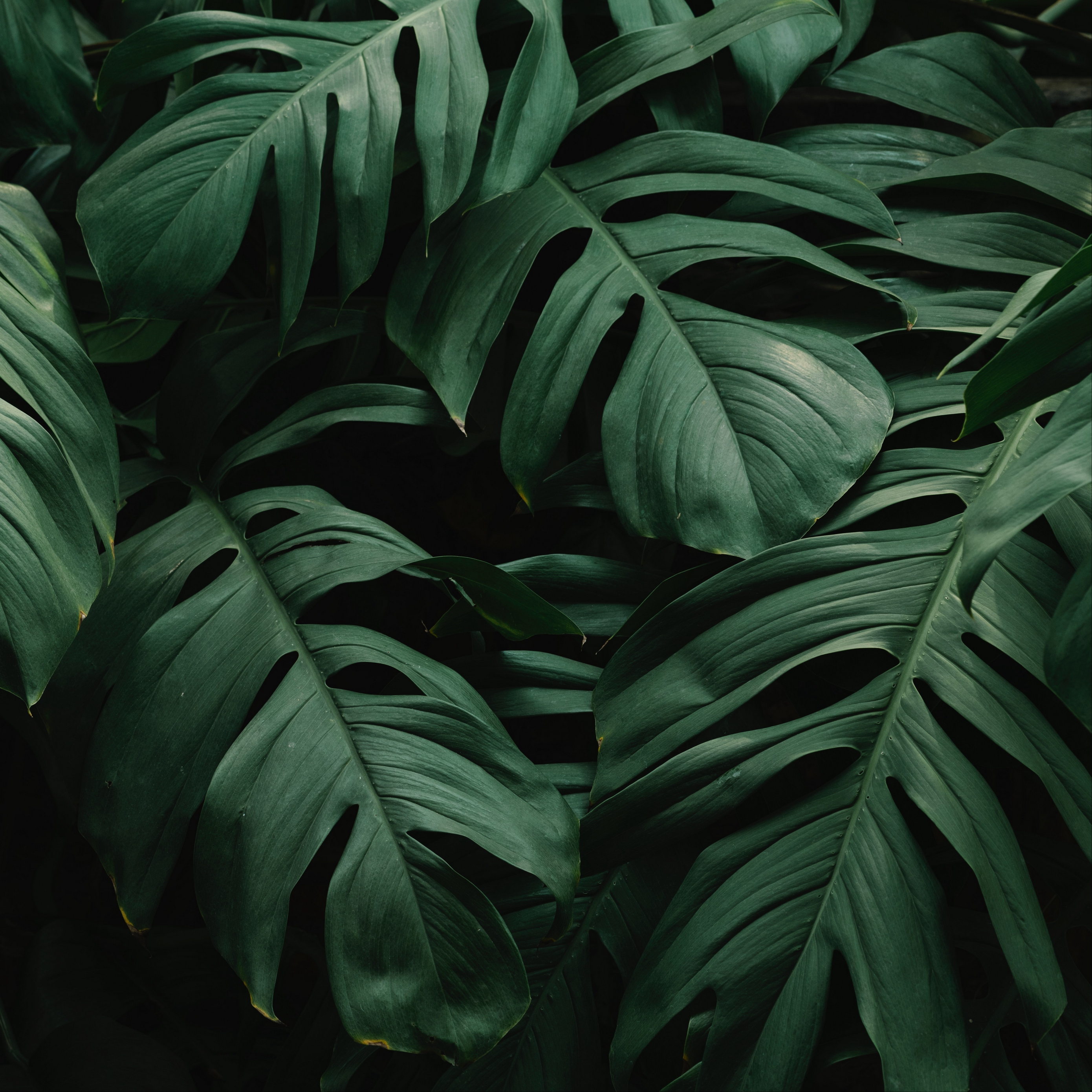 Wallpaper Leaves Plant Green Dark Vegetation Green Leaves 2780x2780 Download Hd Wallpaper Wallpapertip