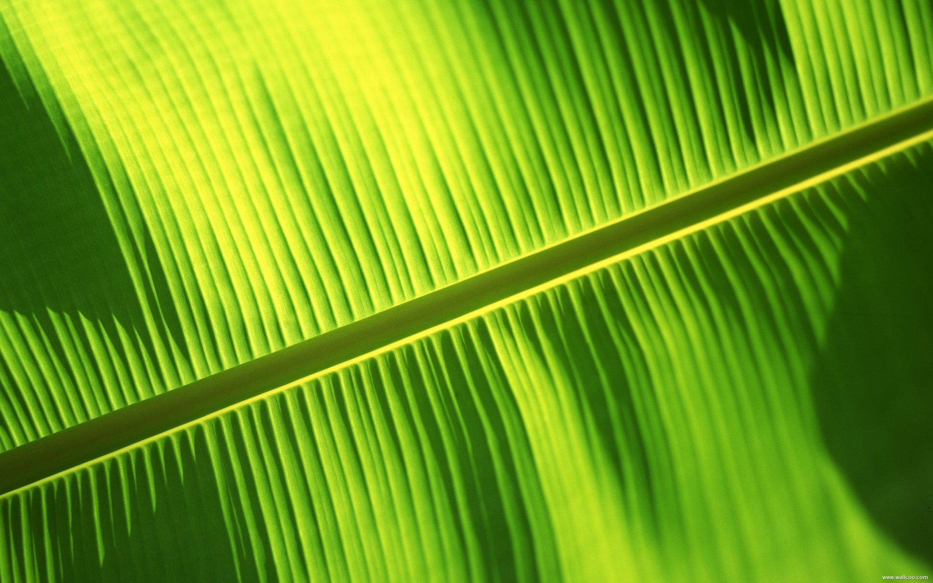 Banana Leaf Background Pic Hd - 1920x1200 - Download HD ...