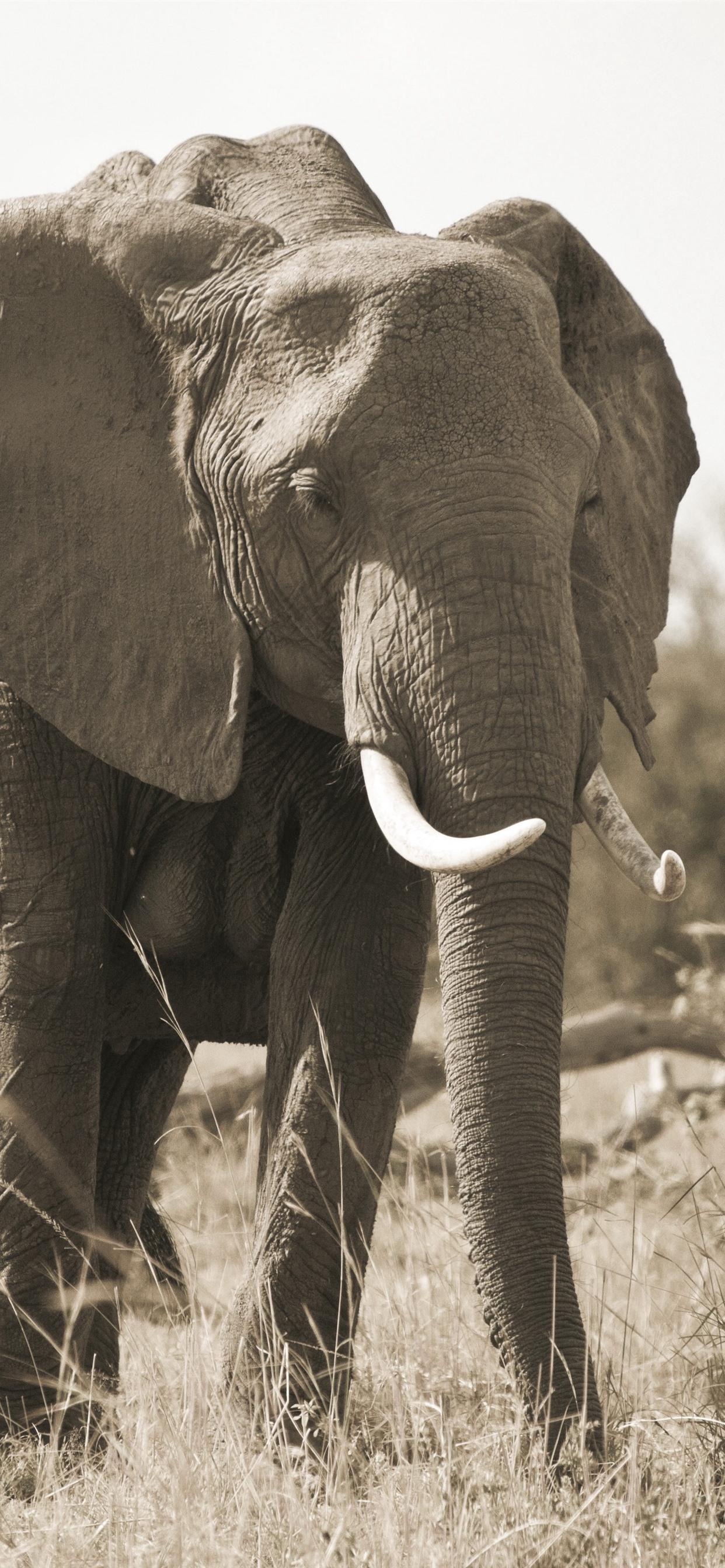 Elefant Wallpaper iPhone   Elefantentapete   21x21   WallpaperTip
