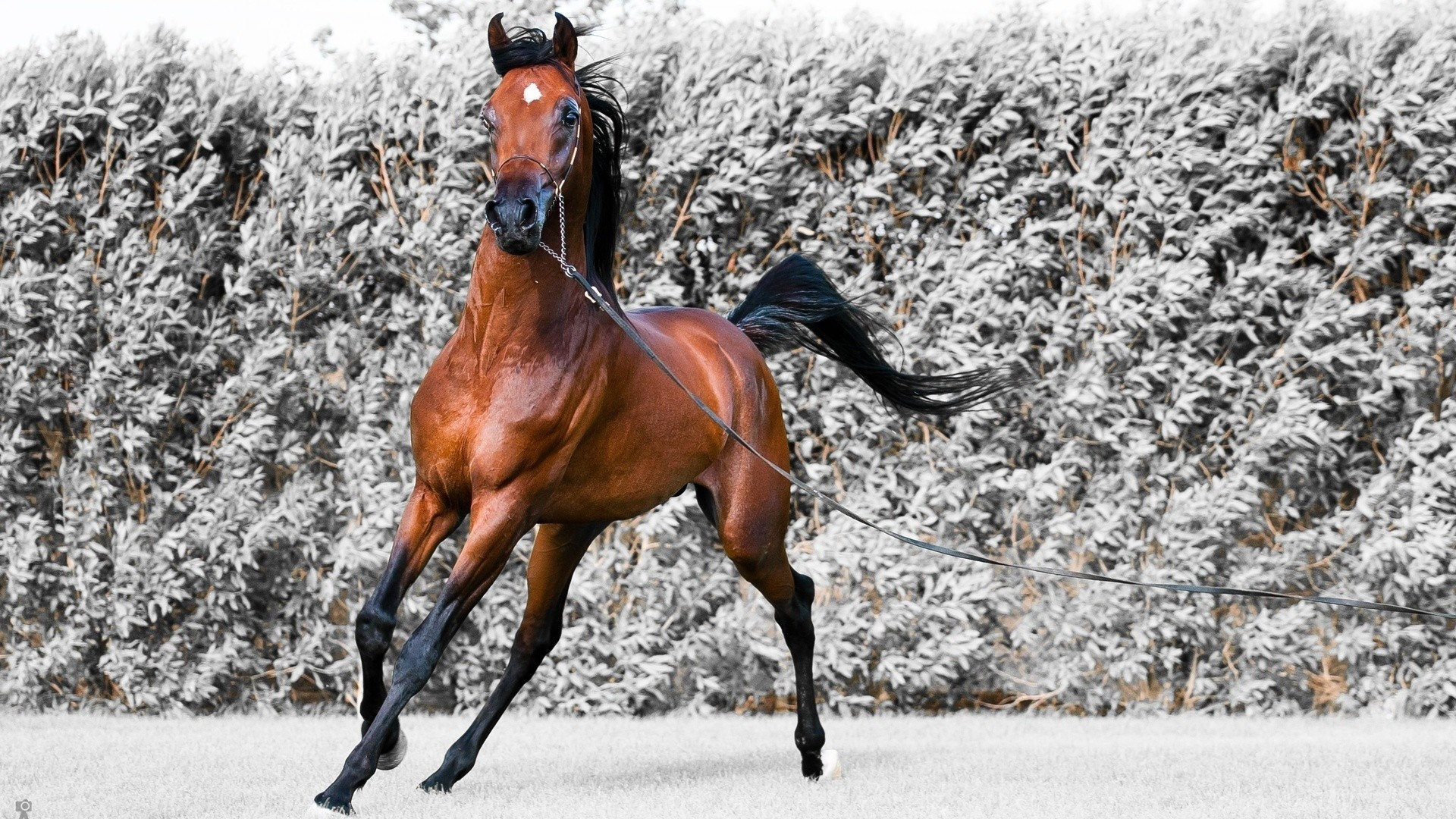 Arabian Horse Wallpapers Hd 1920x1080 Download Hd Wallpaper Wallpapertip
