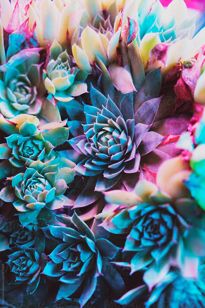Colorful Succulent Plants 800x1200 Download Hd Wallpaper Wallpapertip