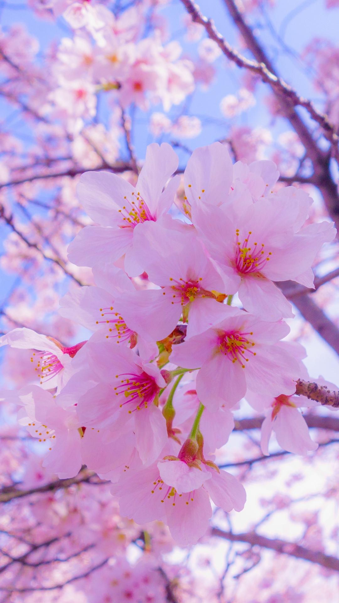 桜の花の壁紙のhd 花の壁紙のhd 938x1668 Wallpapertip