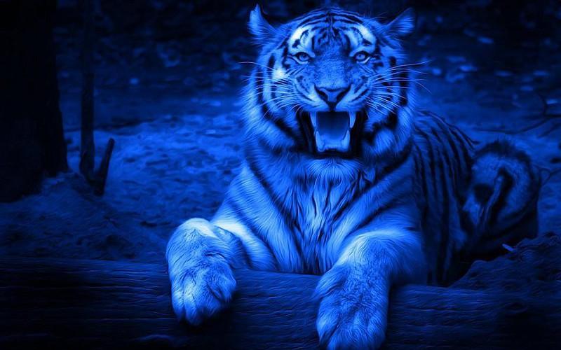 Fond D Ecran Tigre Blanc Fond D Ecran Tigre Blanc Bebe Fond Tigres En La Noche 800x500 Download Hd Wallpaper Wallpapertip