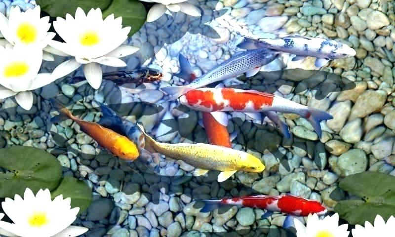 Koi Wallpaper Fish Live Download For Mobile 6 Hd Iphone 800x480 Download Hd Wallpaper Wallpapertip