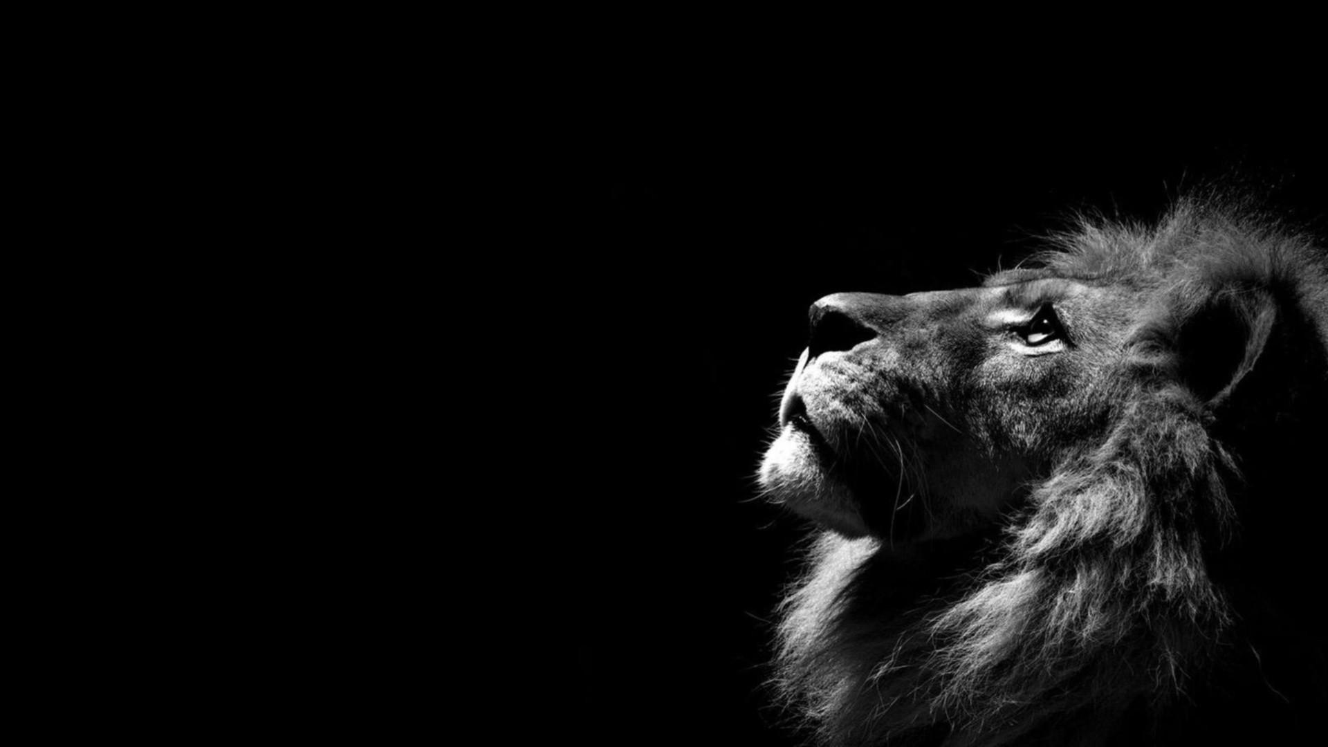 Download Free Lion Black Lion Wallpaper Hd 1920x1080 Download Hd Wallpaper Wallpapertip