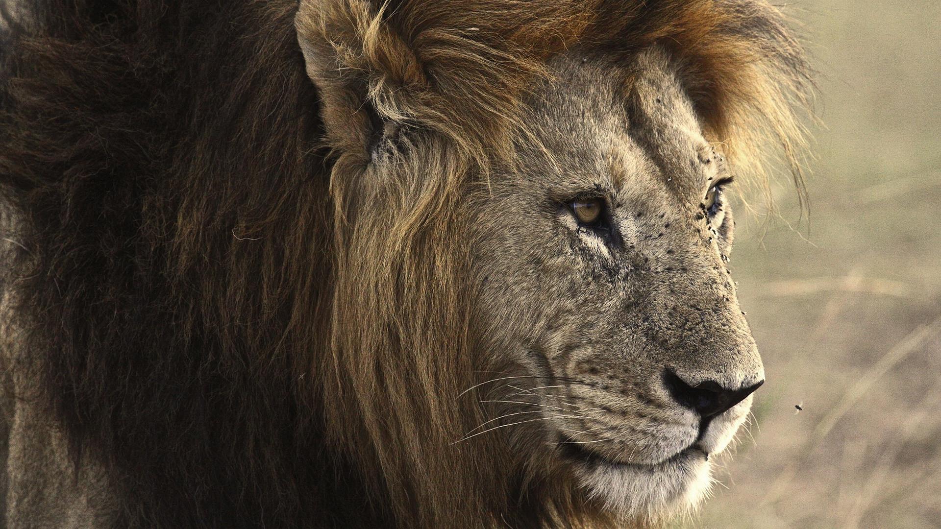 Wallpaper Lion Black Lion Mane Rock Src Angry Lion Hd Wallpaper Male 1920x1080 Download Hd Wallpaper Wallpapertip