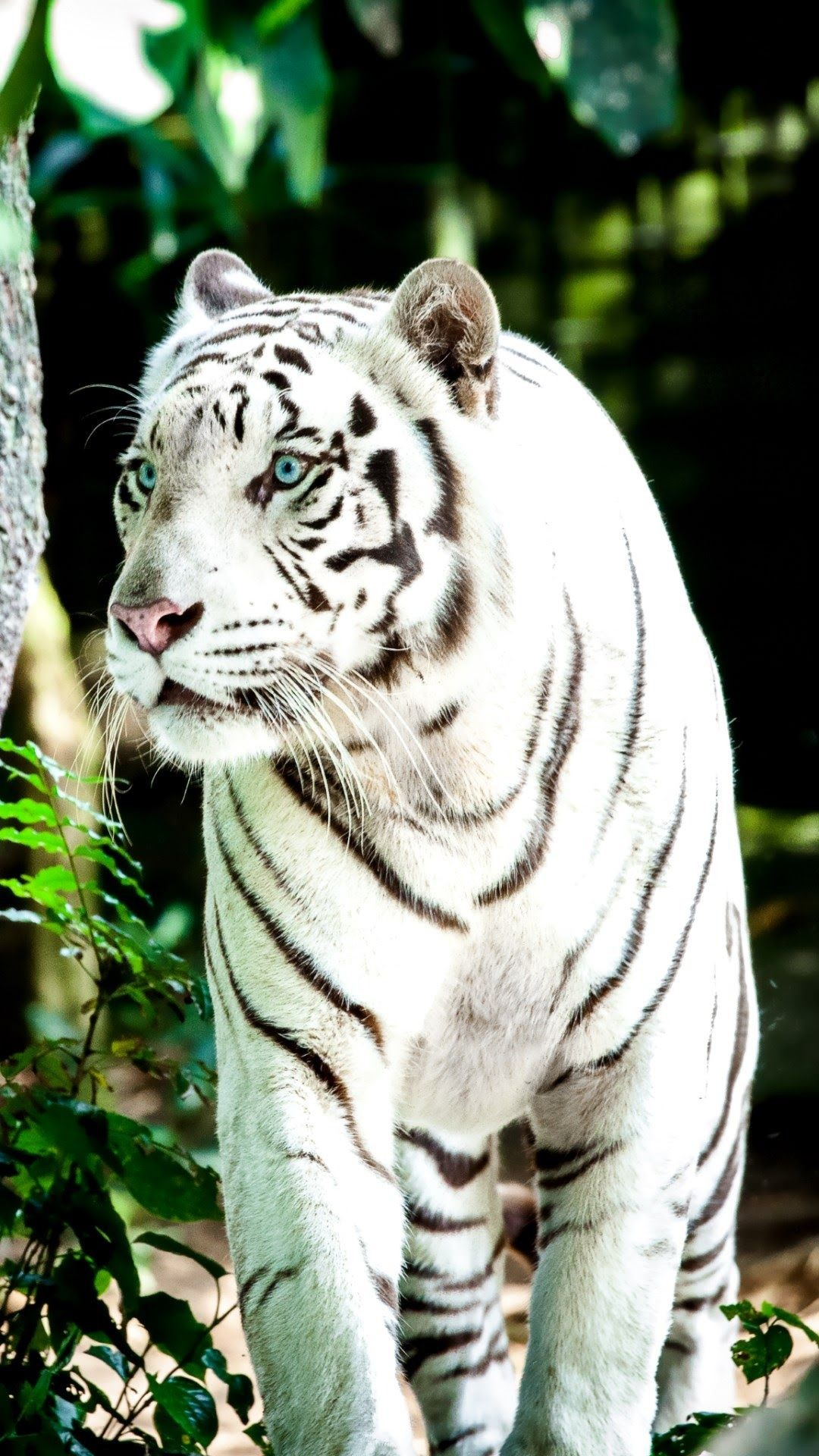 1080x1920 White Tiger Wallpapers A White Tiger Wallpaper 4k Hd 1080x1920 Download Hd Wallpaper Wallpapertip