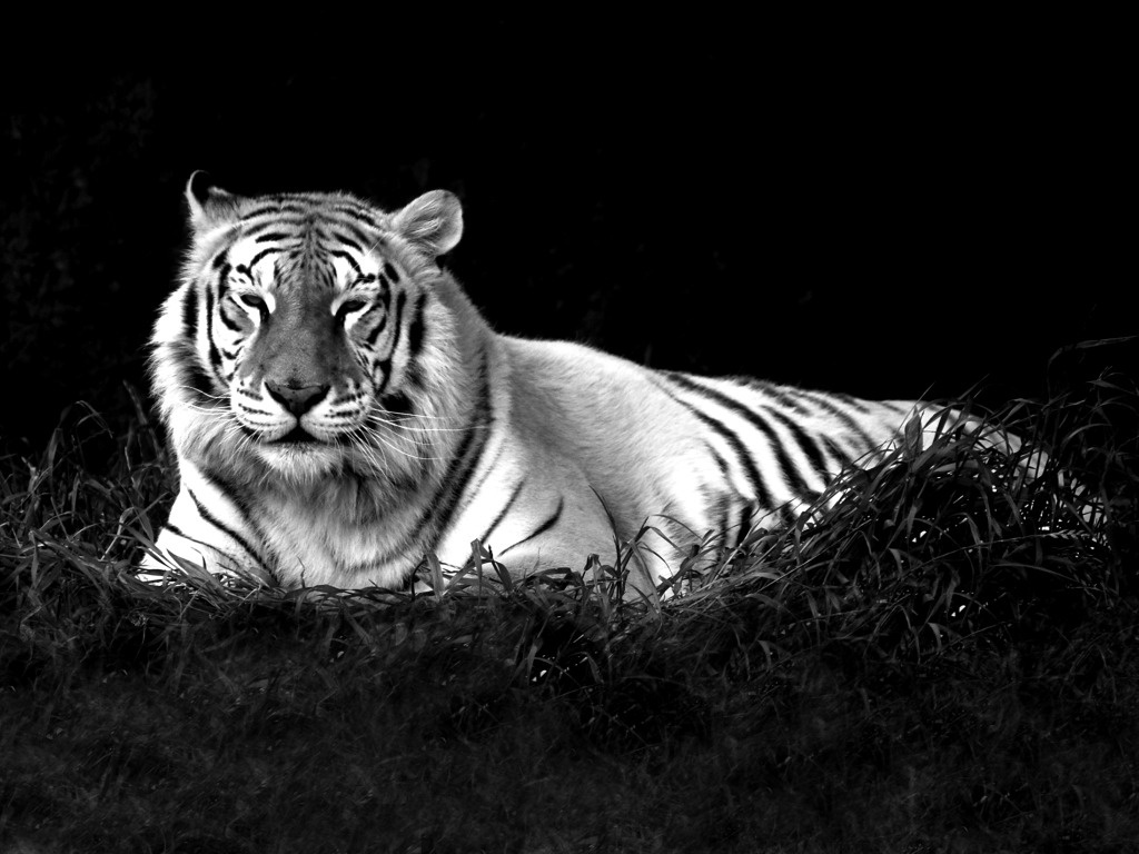 Tiger Black And White Id 50988 Buzzerg White Tiger With Black Background 1024x768 Download Hd Wallpaper Wallpapertip