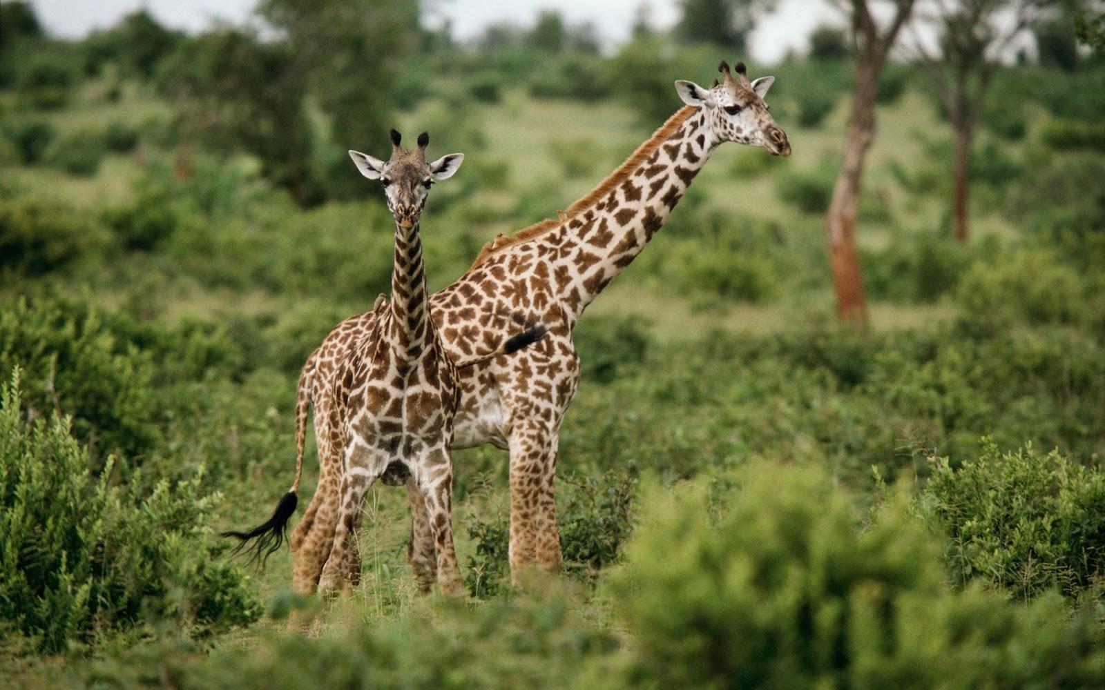 imágenes de animales salvajes hd   fondo de pantalla binatang ...