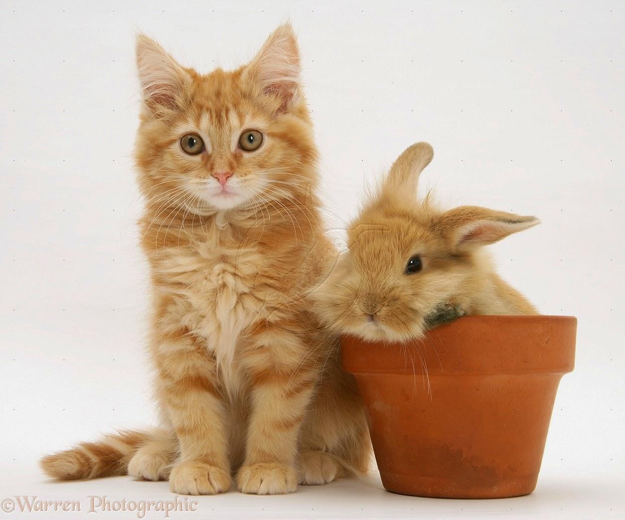 150 Gambar Kucing Lucu Dan Imut Anggora Persia Maine Kucing Anggora Lucu Dan Imut 1256x1044 Download Hd Wallpaper Wallpapertip