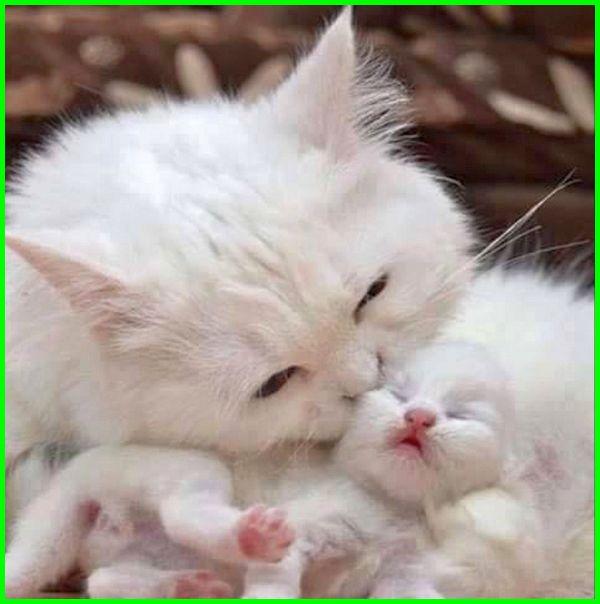 63 633205 gambar kucing melahirkan gambar kucing anggora anakan anak