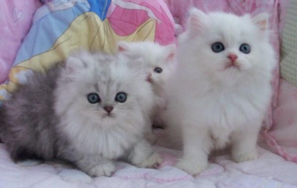 Foto Kucing Persia Lucu Dan Imut Aneka Info Unik - Cara ...