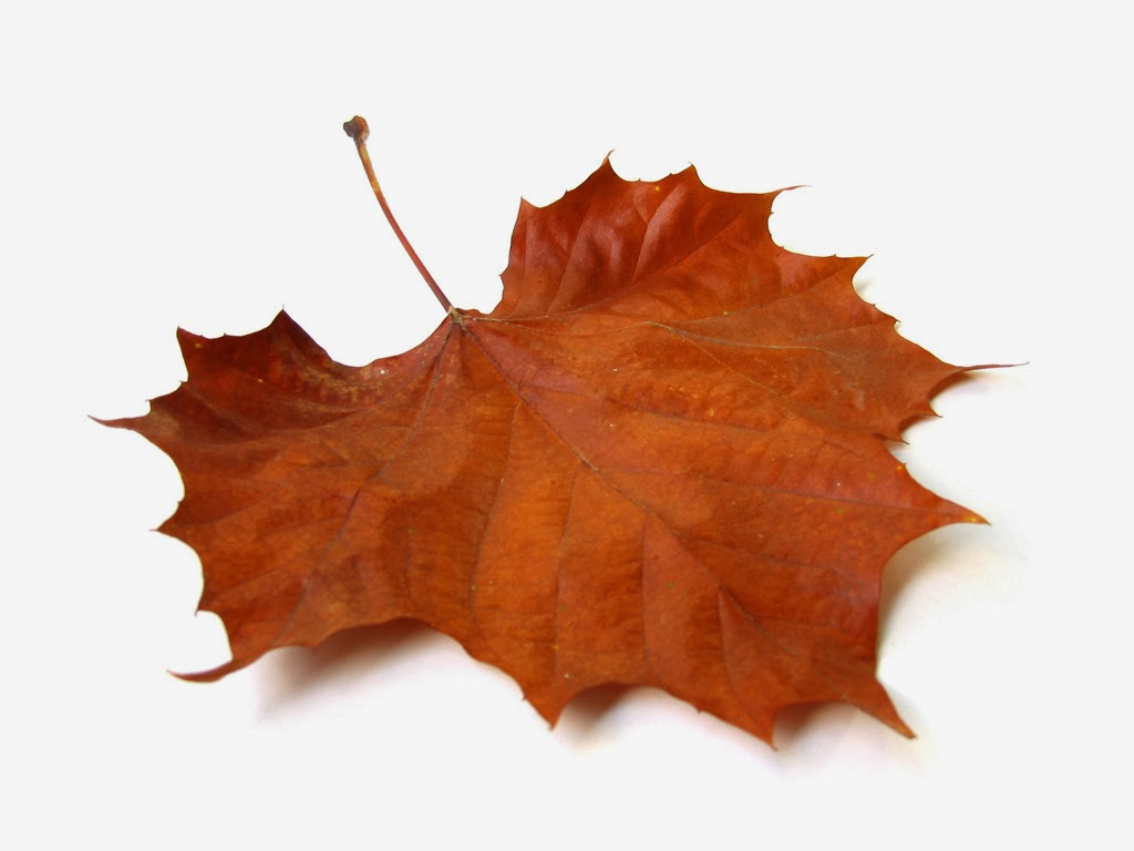 Fall Leaf 1024x768 Download Hd Wallpaper Wallpapertip