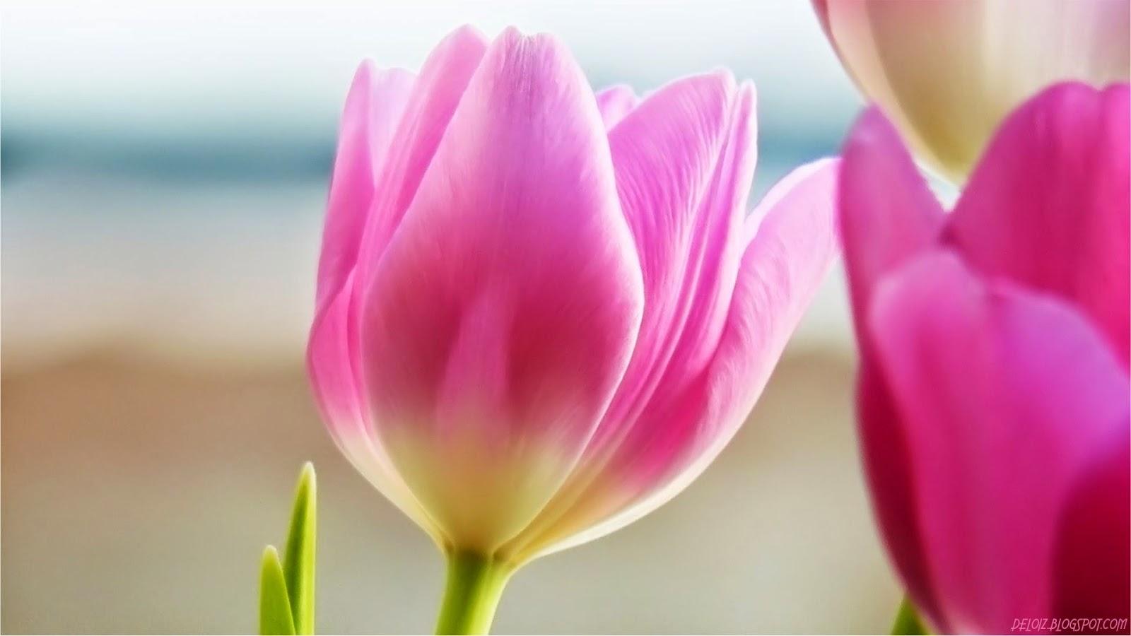 Wallpaper Bunga Tulip Pink Hd